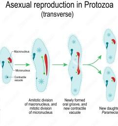 photo art print asexual reproduction in protozoa paramecia division abposters com [ 1000 x 1000 Pixel ]