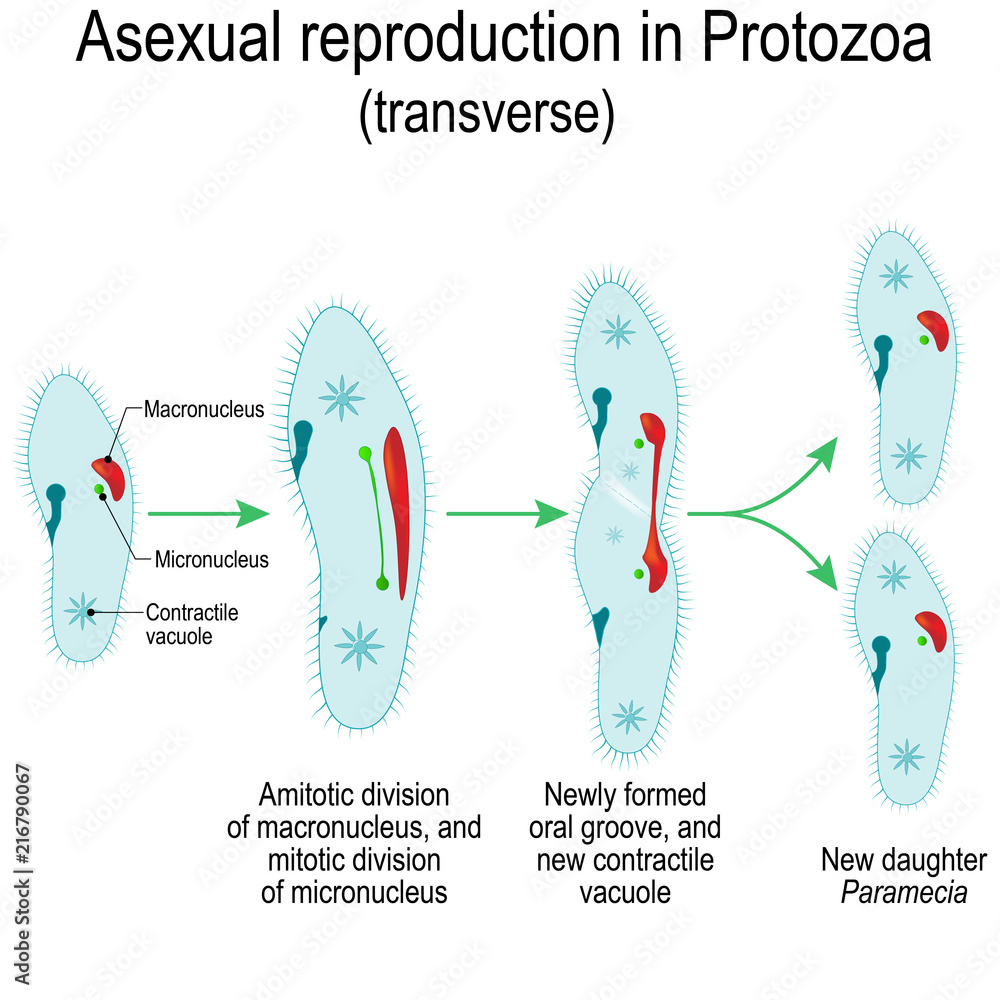 hight resolution of photo art print asexual reproduction in protozoa paramecia division abposters com