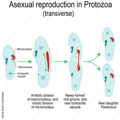 small resolution of photo art print asexual reproduction in protozoa paramecia division abposters com