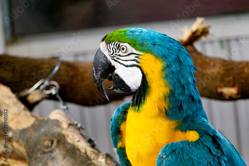 severe macaw parrot close
