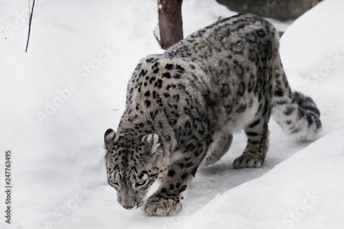 the snow leopard sneaks