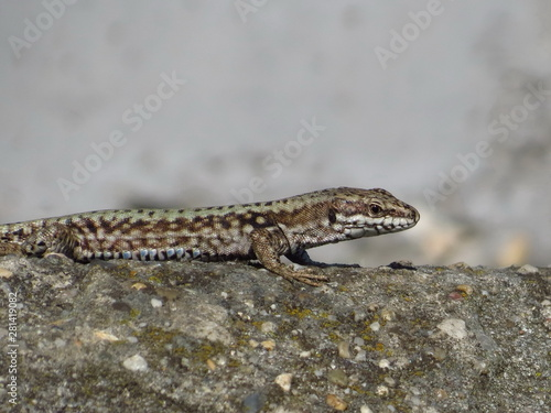 lizard standing on the