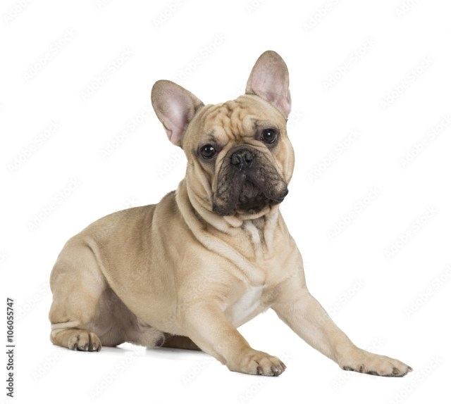 french bulldog fawn color on a white background foto, poster