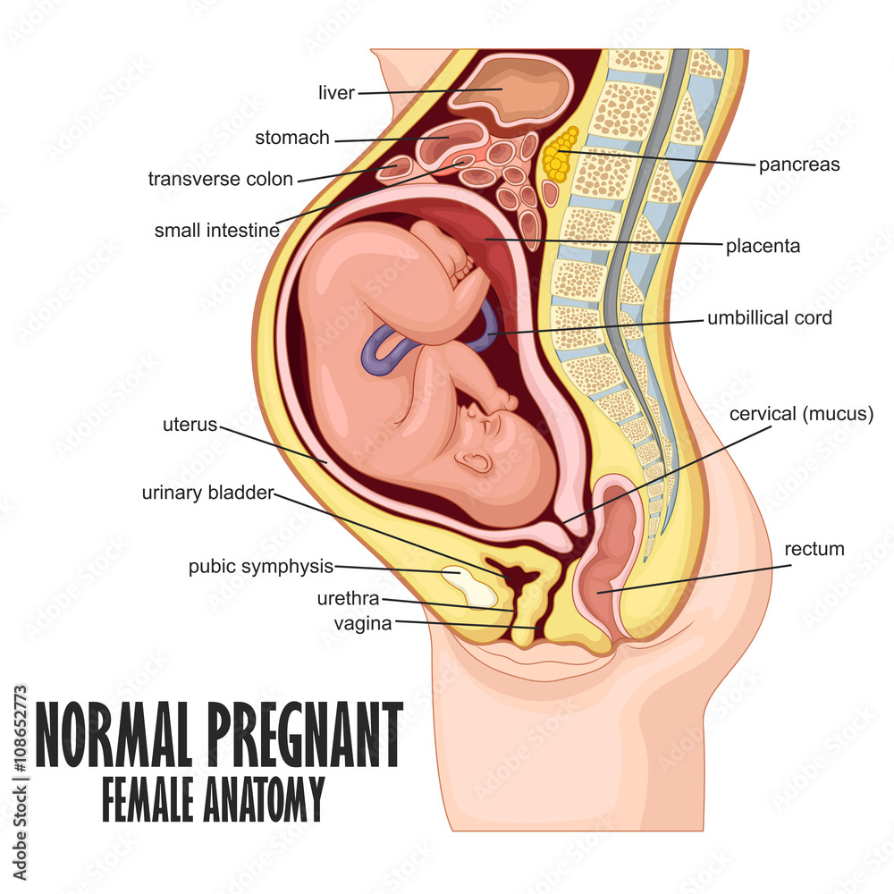 hight resolution of pregnant woman diagram anatomy