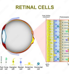 photo art print photoreceptor cells in the retina of the eye abposters com [ 1000 x 941 Pixel ]