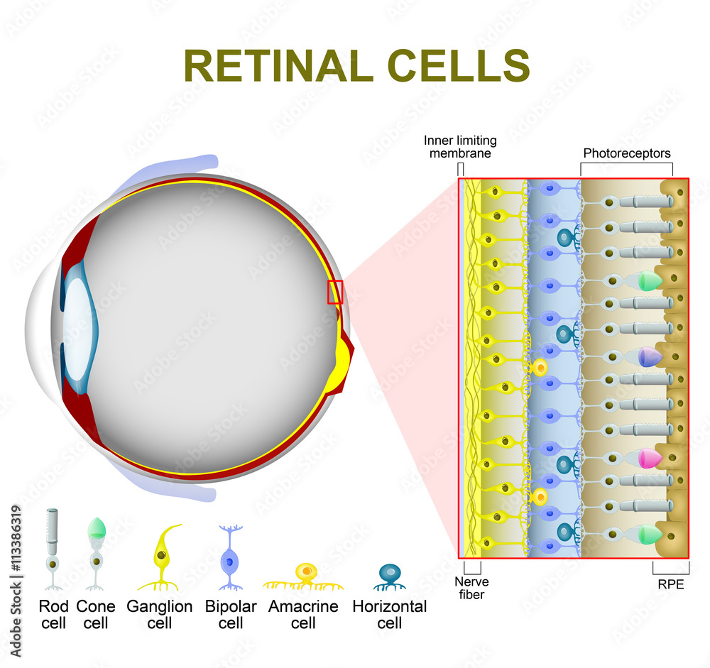 medium resolution of photo art print photoreceptor cells in the retina of the eye abposters com