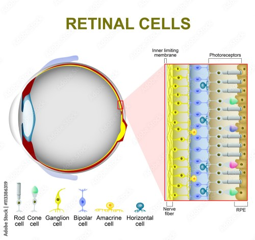 small resolution of photo art print photoreceptor cells in the retina of the eye abposters com