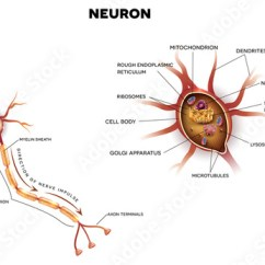 Detailed Neuron Diagram 2000 Ford Expedition Speaker Wiring Nerve Cell That Is The Main Part Of Nervous System Close Up Illustration Cross Section Anatomy Nucleus And Other Organelles