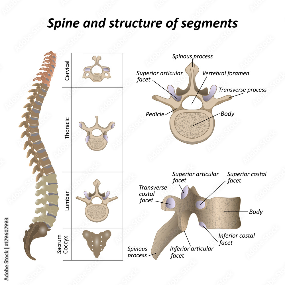 medium resolution of photo art print medical diagram of a human spine with the name and description of all sections and segments of the vertebrae europosters