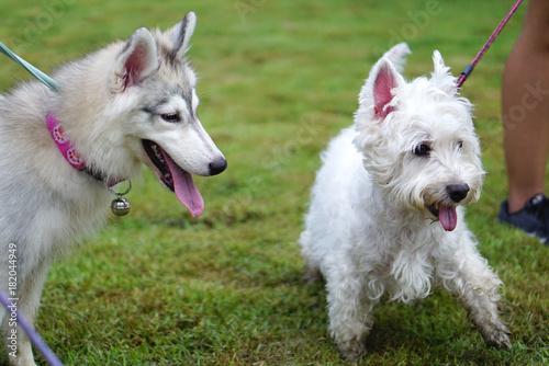 siberian husky puppy talking