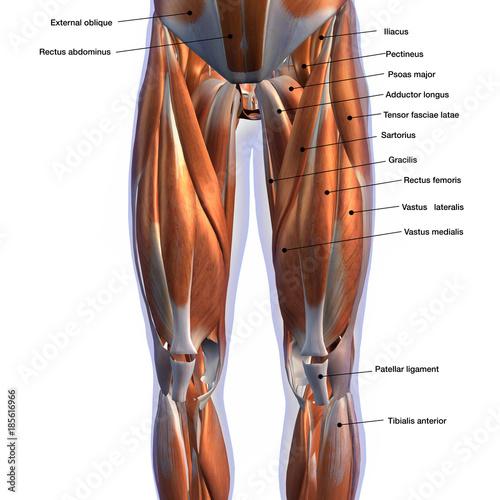 male front leg muscles