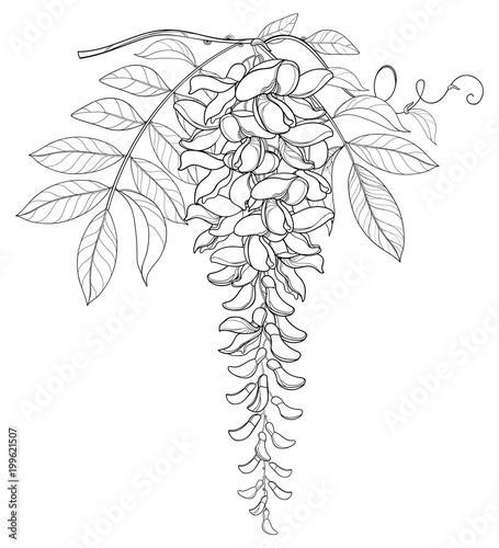 Vector branch of outline Wisteria or Wistaria flower bunch