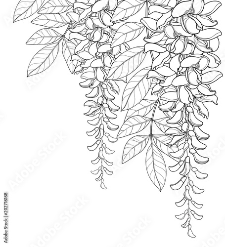 Vector corner bouquet of outline Wisteria or Wistaria