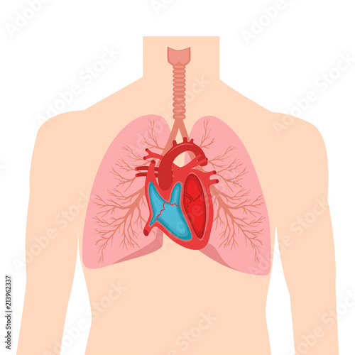 human heart and lungs diagram marine voltmeter wiring internal organs in a male body anatomy of people part the diastole systole filling pumping