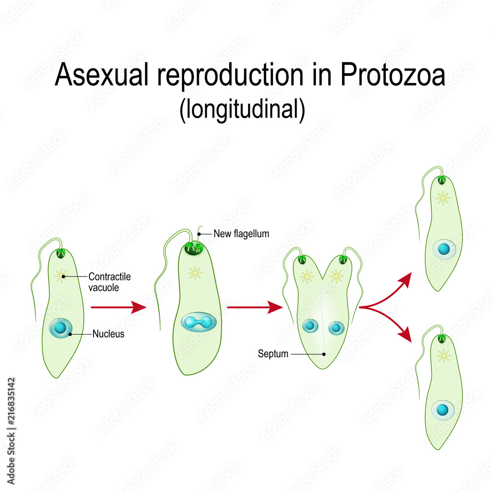 hight resolution of euglena diagram