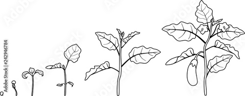 Coloring page. Life cycle of eggplant. Growth stages from