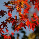 Jikishian kyoto autumn leaves https://www.flickr.com/photos/23713037@N07/