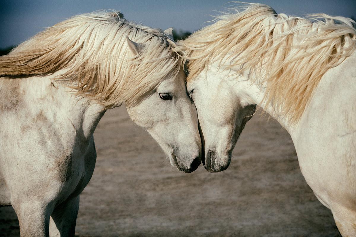 Image result for camargue horses