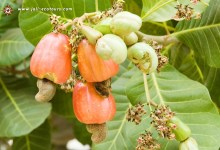 Photo of Cashew generated 170 million dollars in 2013