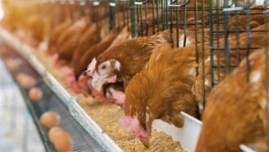 Photo of Ghana bans importation of poultry products from five countries
