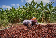 Drying cocoa beans on a farm