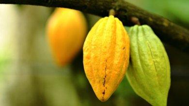 Healthy cocoa