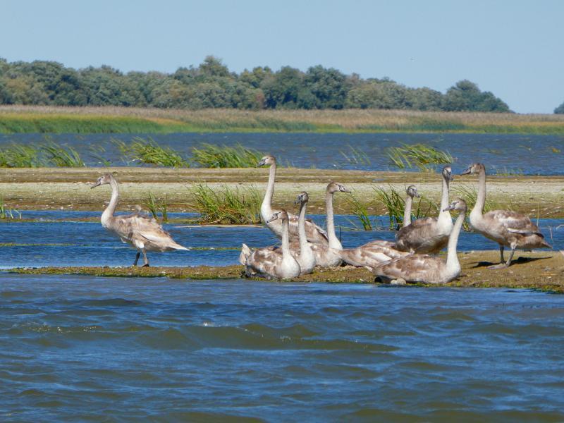 Cisnes en el Delta
