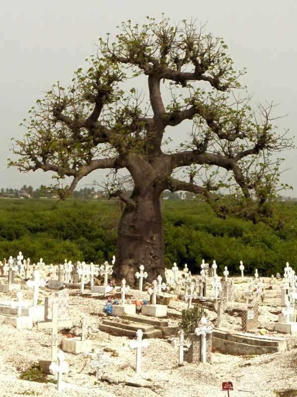 Baobab en el cementerio