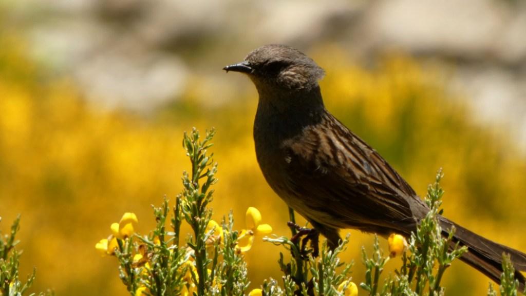Aves Hoyos del Espino  - Acentor