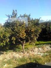 musim-jeruk