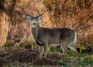 Deer shot