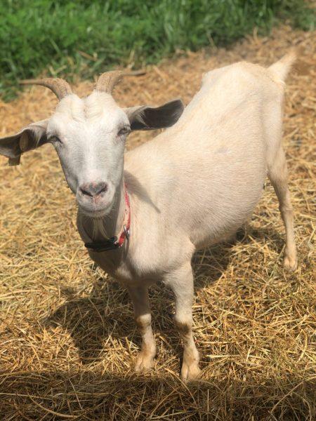 Hemp Goat Collar