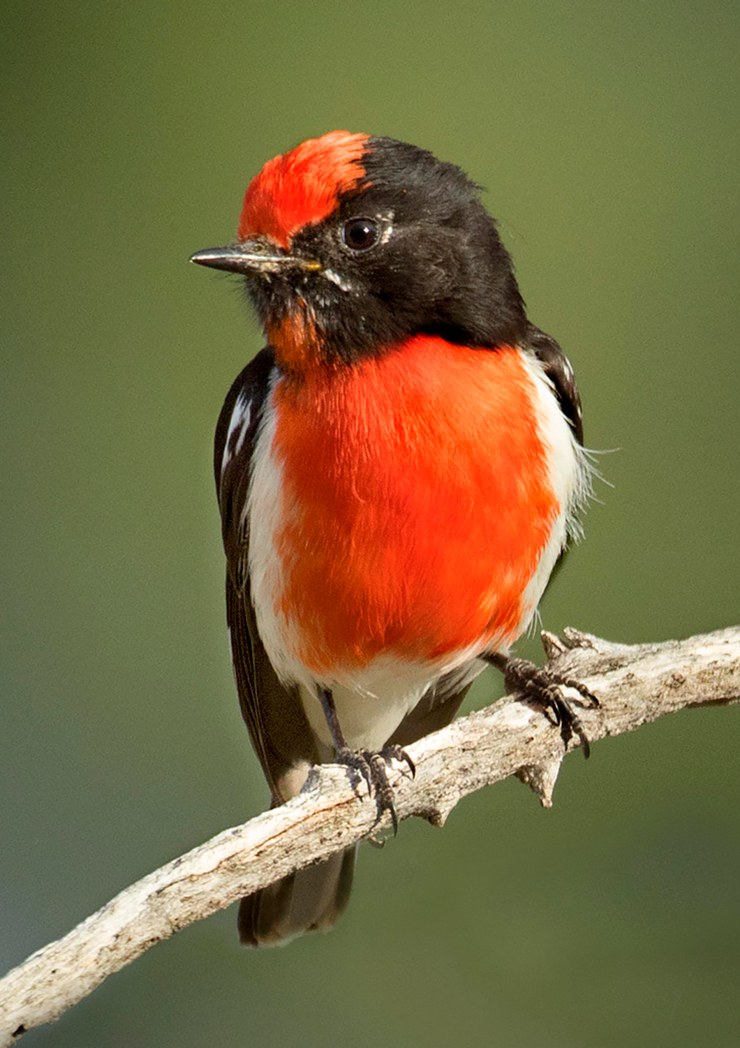 Red capped robin, Bowra