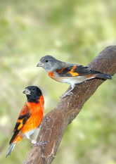 Red siskin pair