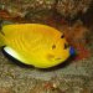 poisson-ange