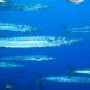 barracuda Méditerranéen