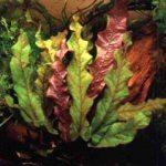 barclaya_longifolia