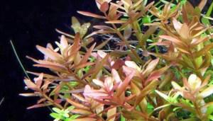 Ротала индига (круглолистная) (Rotala rotundifolia)