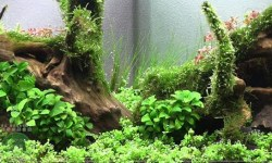 Amano aquascape 60l