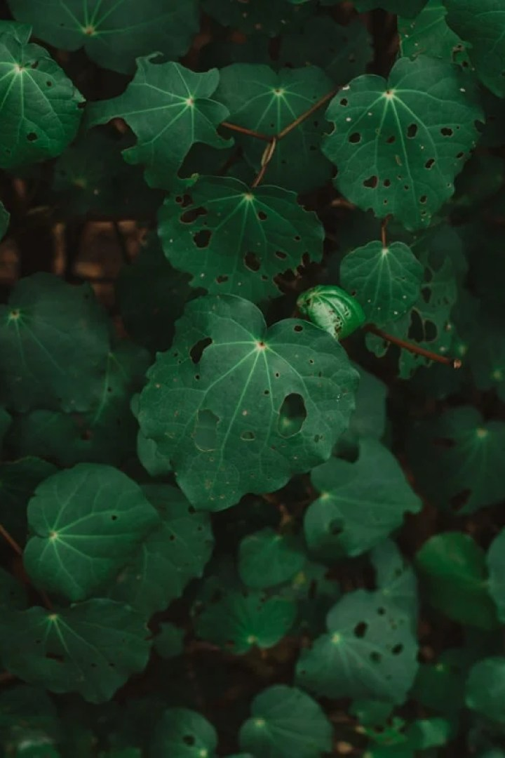 Kawakawa plant backlight with sunlight