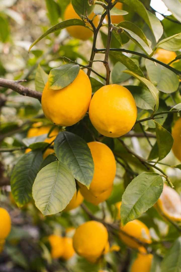 Perfect Meyer lemons on the tree