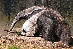 Giant anteater