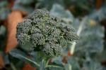 Brokolice 1