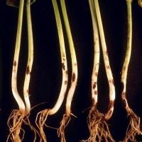 Rhizoctonia solani symptoms on bean roots