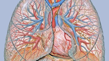 Thoracic anatomy