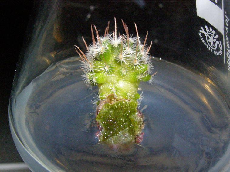 Mammillaria sp. (006)