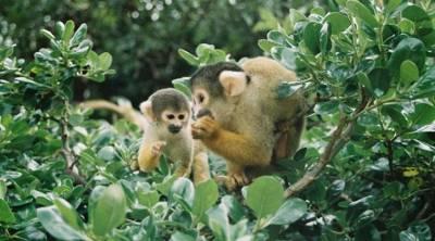 Squirrel Monkeys Attack