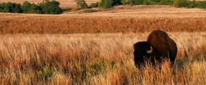 cropped-cropped-buffalo-wichita.jpg