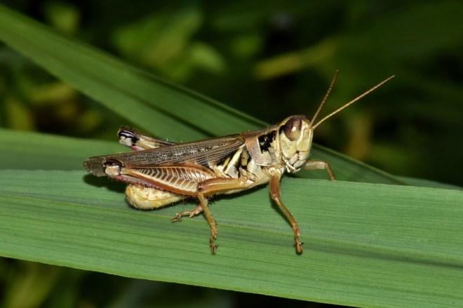 grasshopper-1577782_960_720