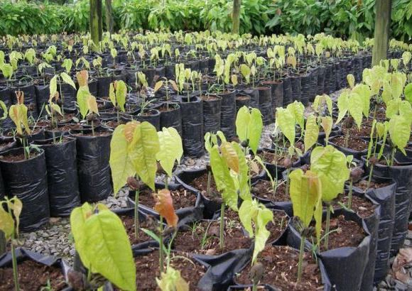 Cocoa seedlings
